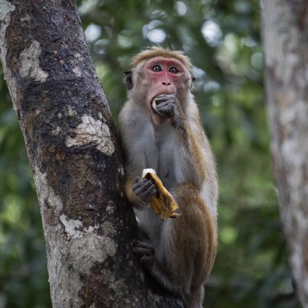 Monkey eating a banana in Wilpattu National Park