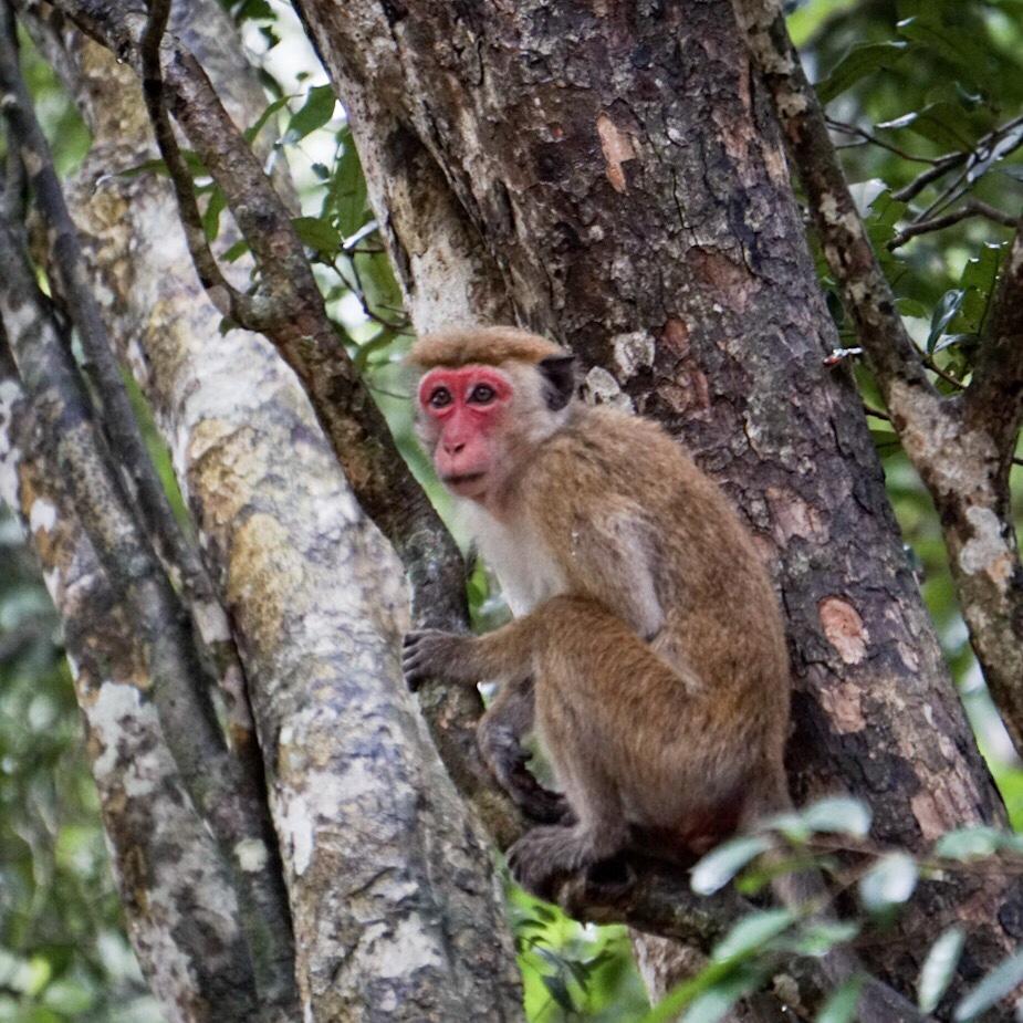 Monkey at Wilpattua National Park